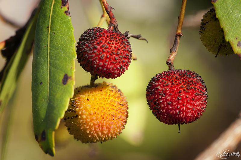 Macedonia antica la frutta del passato associazione 39 9cento for Elenco alberi da frutto
